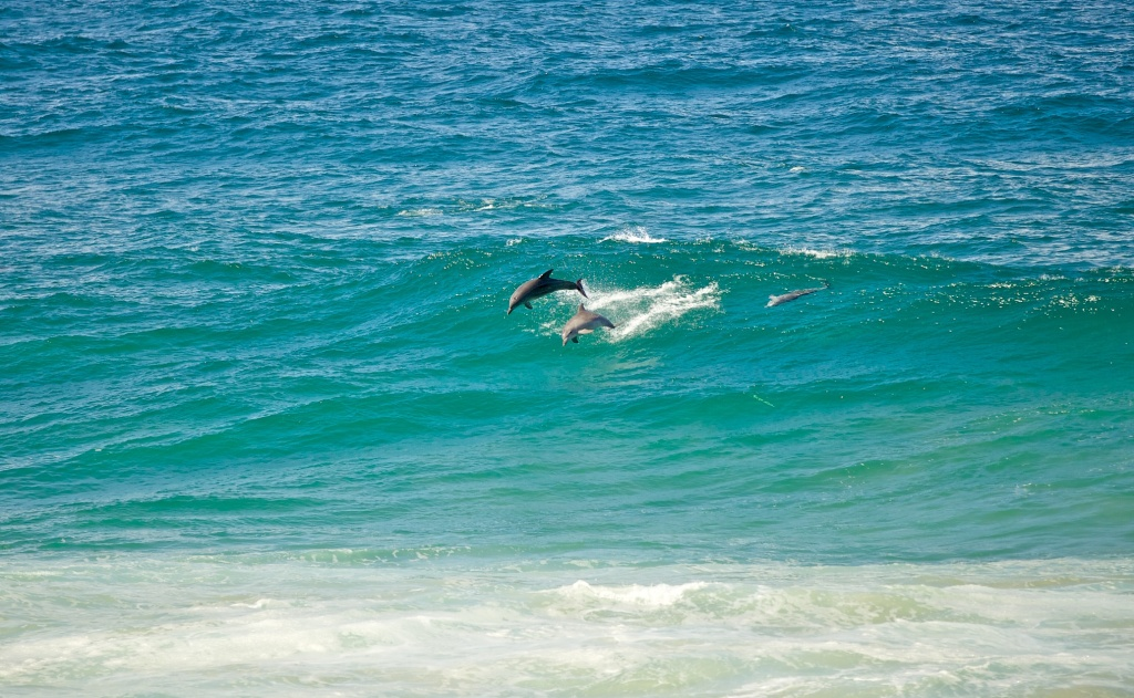 Dolphins jumping Gold Coast